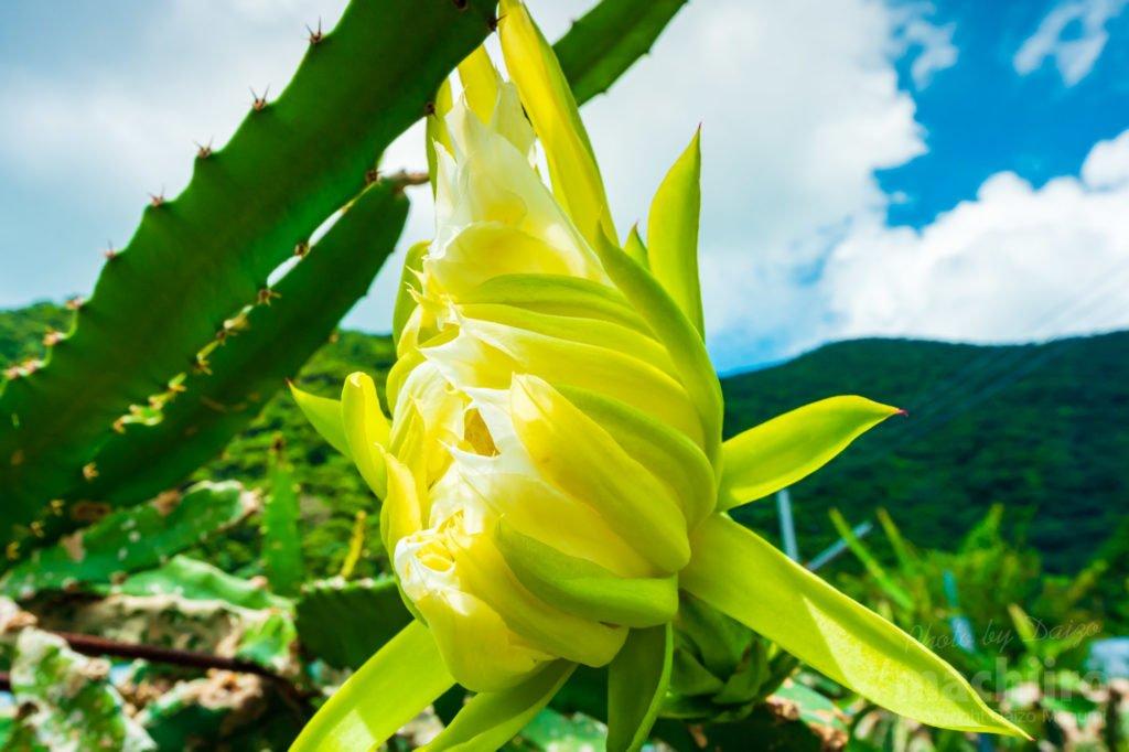 奄美フルーツファーム ドラゴンフルーツの花の写真 2