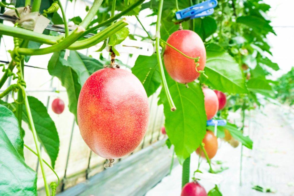 奄美フルーツファーム パッションフルーツ写真 1 2